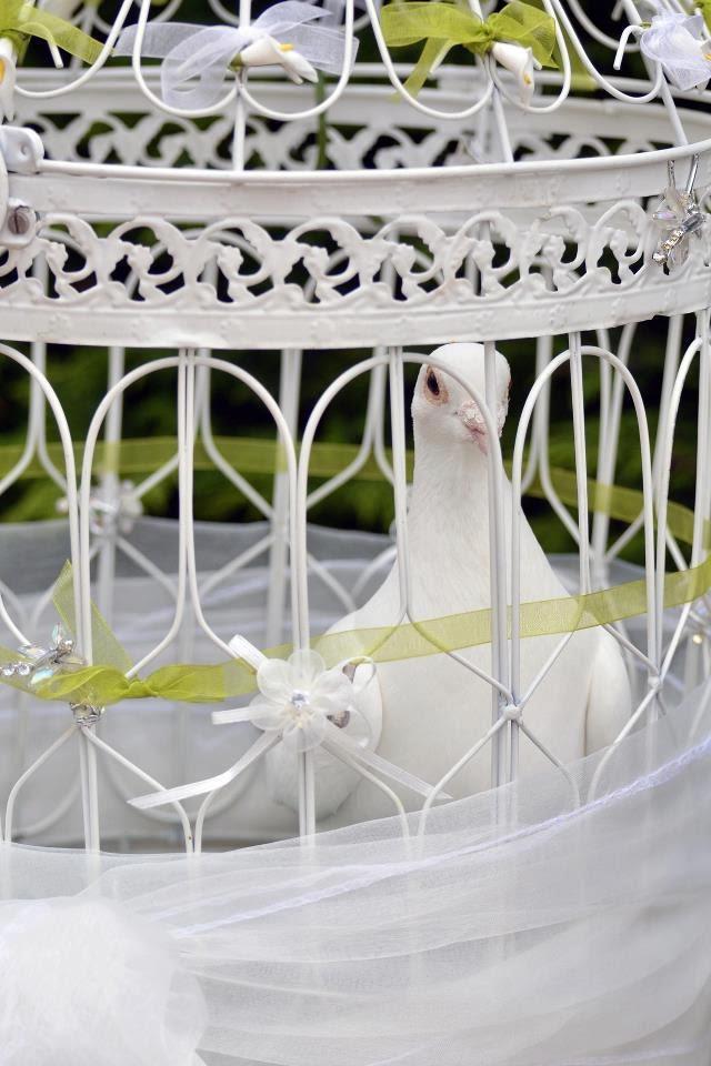 white dove for dove release